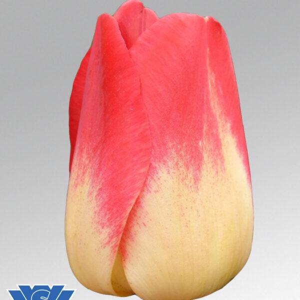 Tulip Match
