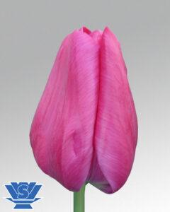 tulip matchmaker
