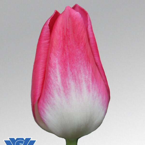 tulip memphis