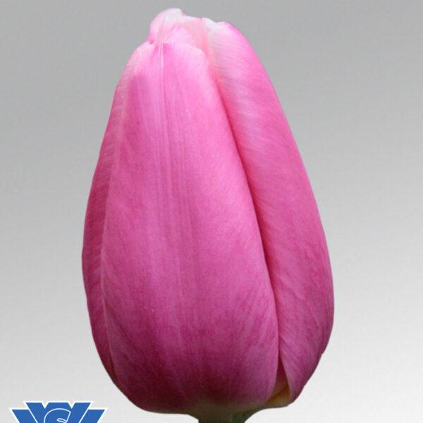 tulip milkschake