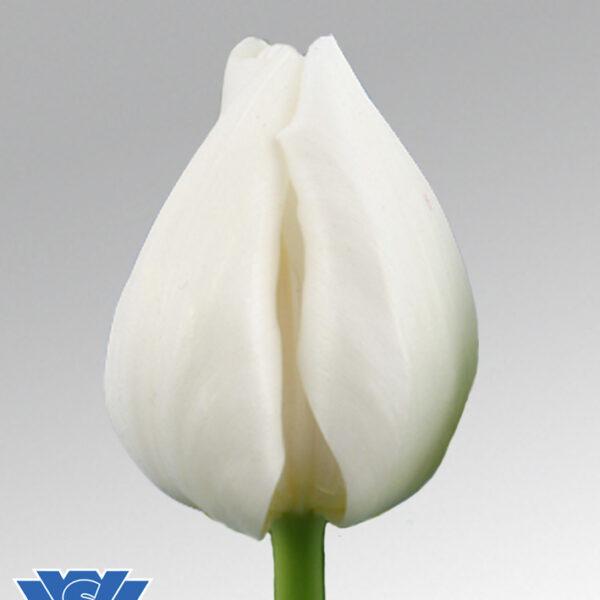 tulip nepal