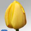 tulip novi sun