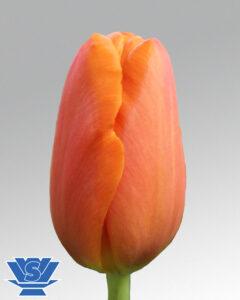 tulip orange juice