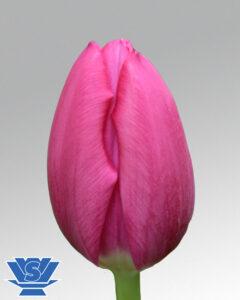Tulip pink ardour