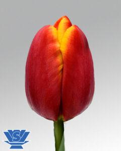 tulip powerplay