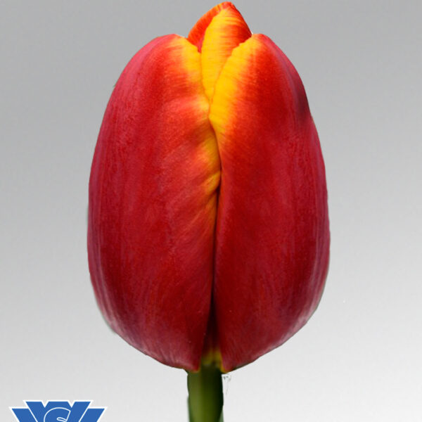 tulip powerplay