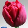 tulip presto