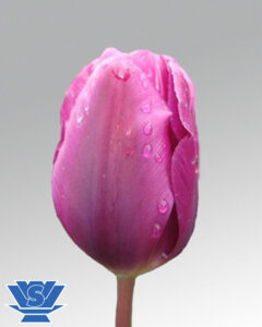 tulip purple cloud