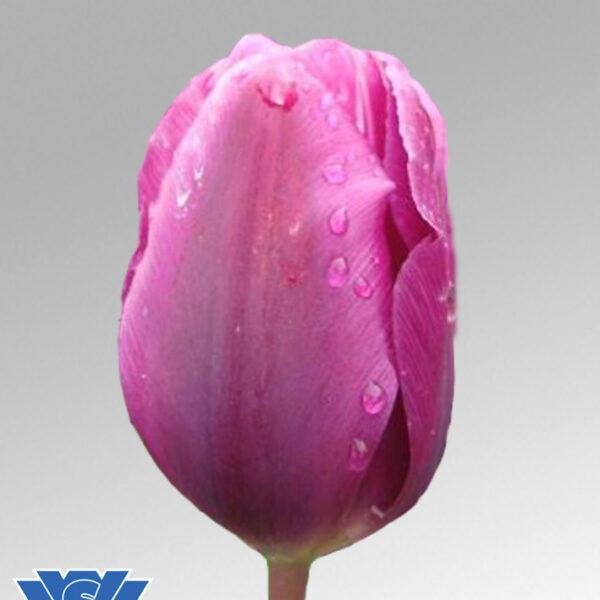 tulip purple cloud