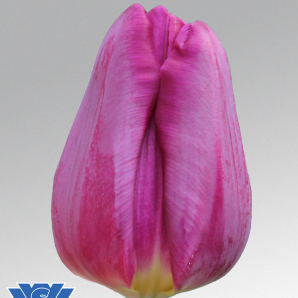 tulip purple eye