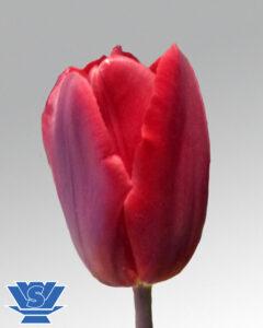 tulip red gold