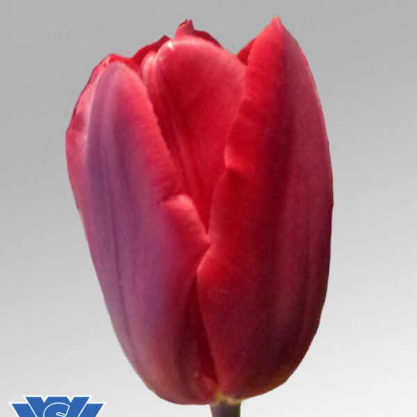 tulip red gold