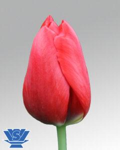 tulip red power