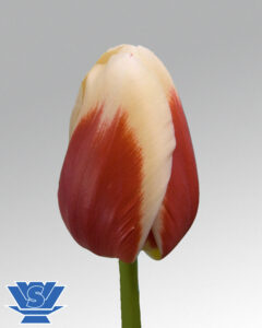 tulip roman empire