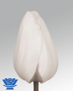 tulip snow lady