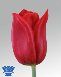 tulip strong love