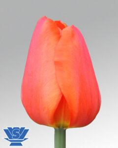 tulip sunbelt