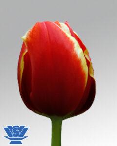 tulip talent