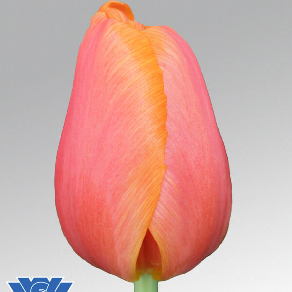 tulip time out