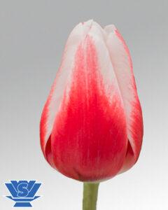 tulip timeless