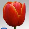 tulip verandi