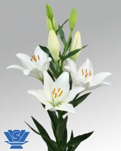 lilium doroso