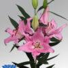 oriental lililum euskadi