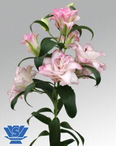 double lilium beautytrend