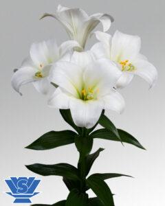 Lilium carpino
