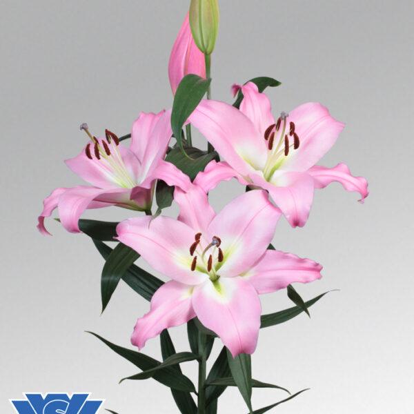 Lilium seattle