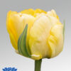 tulip akebono