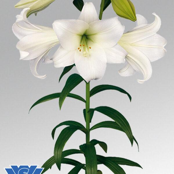 lilium white heaven