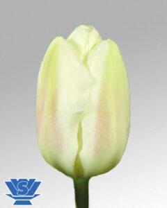 tulip creme flag