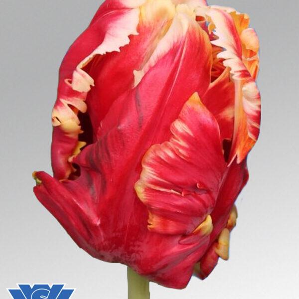 tulip deejay parrot