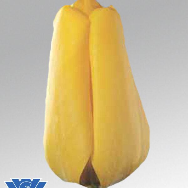 tulip golden alpeldoorn