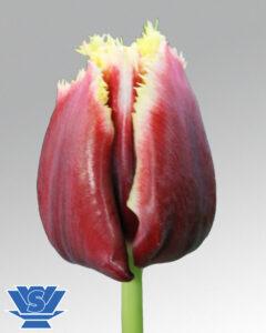 tulip mercure