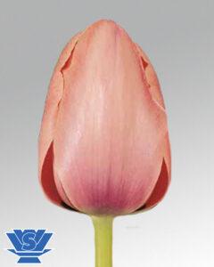 tulip salmon impression