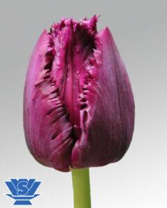 tulip san clemente