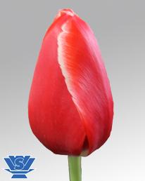 tulip tirana