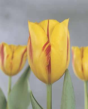 tulip washington